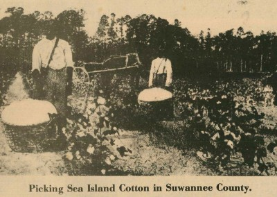 Photo---Suwannee-County---Picking-Sea-Island-Cotton---1908
