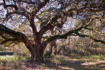 Photo---Typical-Live-Oak-Tree